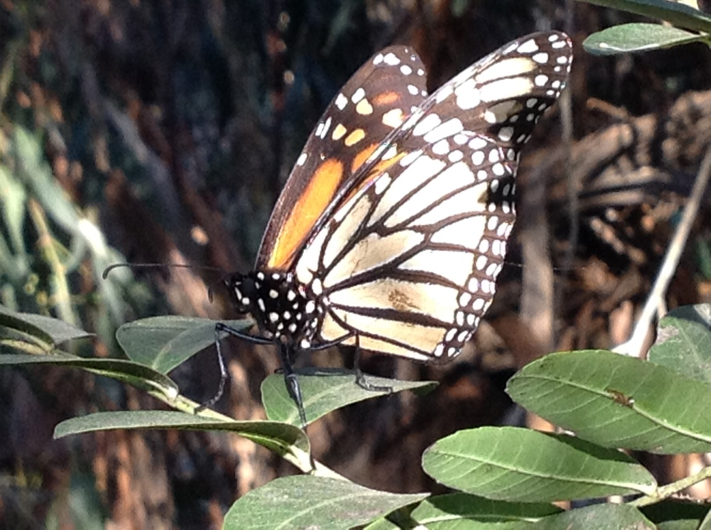 Monarch butterfly migration California
