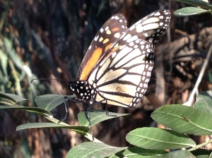 migration of monarch butterflies, decline of monarch population