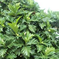 breadfruit tree, maui, hawaii