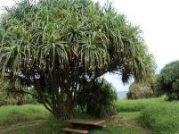 hala tree, haleakala national park, maui, hawaii