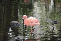 pink flamingo,maui, hawaii, nature, wildlife