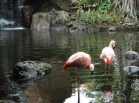 pink flamingo, maui, hawaii, nature, wildlife