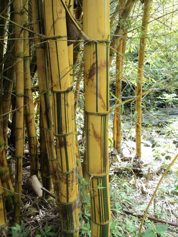 golden bamboo, maui, hawaii