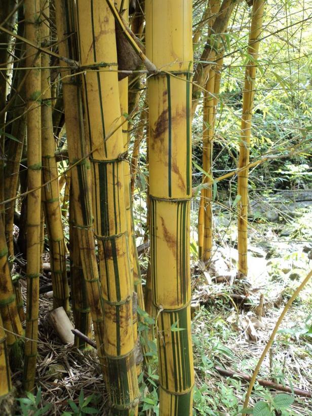 golden bamboo, maui, hawaii