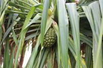 Hala tree, pineapple, fruit, maui, hawaii