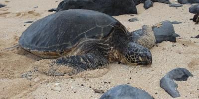 green sea turtle, maui, hawaii, nature, wildlife