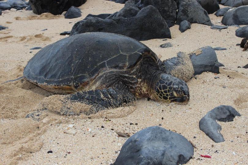 green sea turtle, maui, hawaii, nature, wildlife