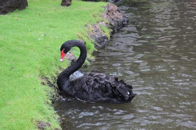 black swan, nature