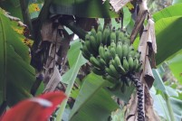 banana tree, maui, hawaii