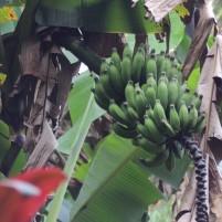 banana tree, maui, hawaii
