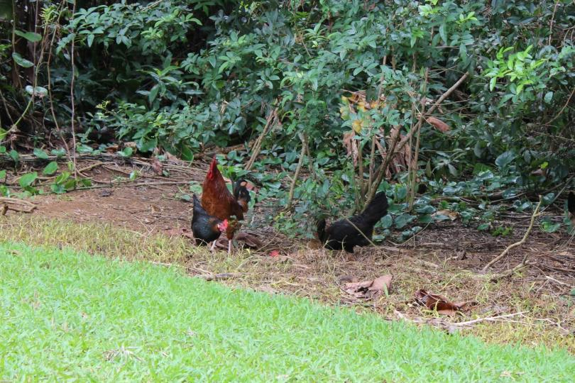 chickens, roosters, wildlife, maui, hawaii, nativek, non-native
