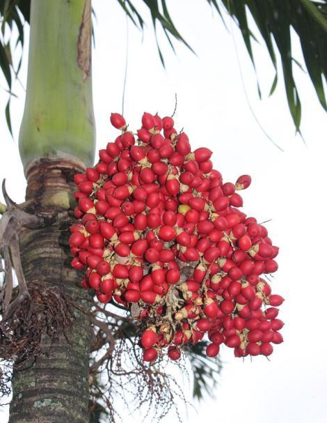 peach palm fruits, red, maui, hawaii, edible
