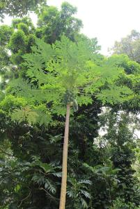 papaya tree, maui, hawaii