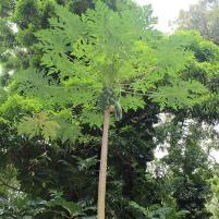 papaya tree, maui, hawaii
