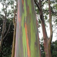 Maui, Hawaii, rainbow, eucalyptus, Hana Highway