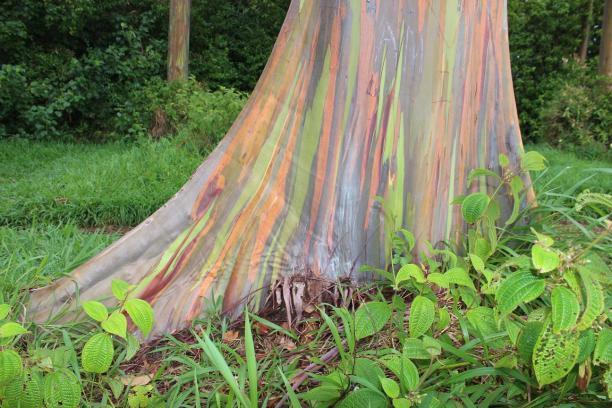 Maui, Hawaii, rainbow, eucalyptus, Hana Highway