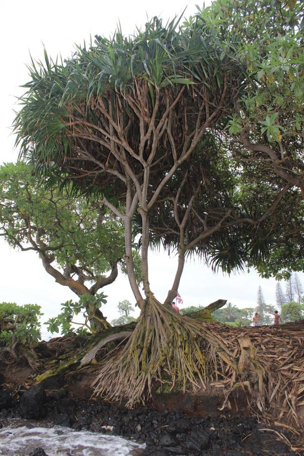 unknown tree, Maui, Hawaii
