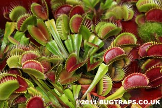 Venus Fly Trap. One of nature's crazy cool and miraculous plants.