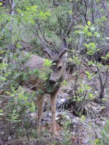 mule deer at zion, antlers