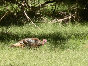 Wild turkey at Zion national park, Utah