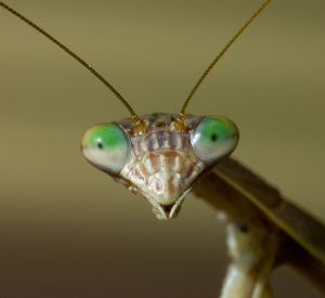 Praying_Mantis face