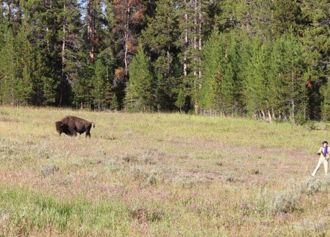 bison attacks humans, stupidity, respect for nature, Yellowstone National Park, Wyoming, wildlife attacks