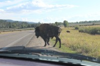Grand Teton National Park and area, wildlife viewings, Wyoming, Jenny Lake, Colter Bay, Jackson Hole, moose, mule deer, bison