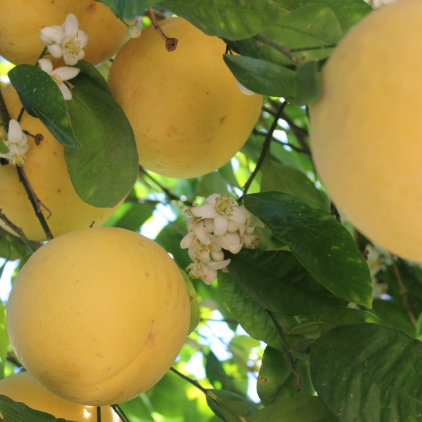 Our super-sweet, pink grapefruits are larger than softballs this year!